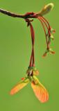 4/16/08 - Maple Seedpods