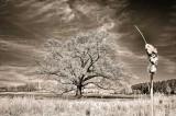 4/17/08 - Southern Red Oak