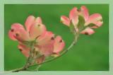 4/21/08 - Pink Dogwood