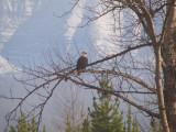 zP1020689 Eagle roosting near North Fork of Flathead River.jpg