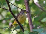 IMG_9414 Yellow Palm Warbler.jpg