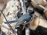 IMG_0145 Black-throated Blue Warbler.jpg