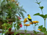 IMG_9486 American Goldfinch.jpg