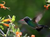 IMG_4637 Broad-billed Hummingbird male.jpg