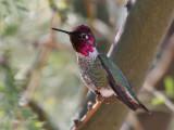IMG_5959a Anna's Hummingbird .jpg