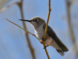 IMG_1457 Costa's Hummingbird.jpg