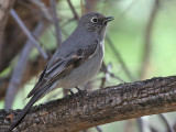 IMG_1987 Townsend's Solitaire.jpg