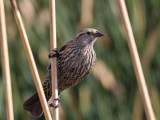 IMG_1639 Red-winged Blackbird.jpg