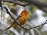 IMG_4284 Flame-colored Tanager.jpg