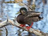 IMG_4070 Hybrid Duck.jpg