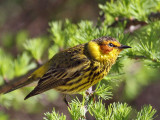 IMG_7958a Cape May Warbler.jpg