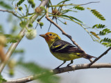 IMG_6106 Western Tanager.jpg