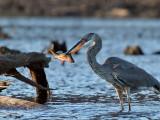 IMG_2850b Great Blue Heron.jpg