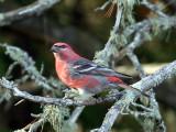 IMG_3514 Pine Grosbeak.jpg