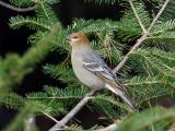 IMG_3464 Pine Grosbeak.jpg