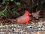 IMG_3573 Northern Cardinal.jpg