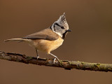 Kuifmees/Crested tit