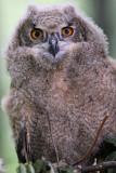 Young Eurasion Eagle Owl