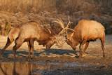 Elk going at it
