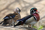 Mr. & Mrs. Wood Duck