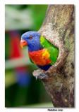 Rainbow Lory