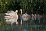 Mute Swan - Knopsvane - Cugnus olor