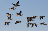 Pale-Bellied Brent Goose- Lysbuget Knortegaas - Branta bernicla hrota