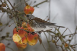 Fieldfare - Sjagger - Turdus pilaris