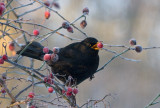 Blackbird - Solsort - Turdus merula