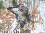 Common Buzzard - Buteo buteo - Musvåge