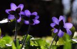 Hepatica - Blå  Anemone- Anemone hepatica