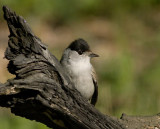 Black cap male - Munk han -