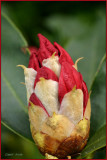 Bud Rhododendron Red