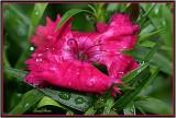Dianthus Blossom