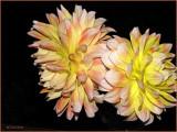 Dahlias in Bloom.jpg