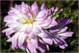 Dahlia Lavender