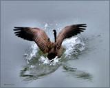 Goose Winchester Bay Oregon