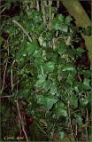 Ivy in Oregon