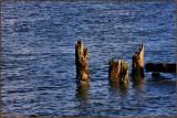 Umpqua River  Old Pilings