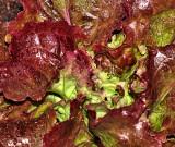 Lettuce Many Colors 1200.jpg