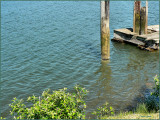 Umpqua River Old PIlings and Old Tie up dock