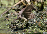 2010Mgrtn_1835-Northern-Waterthrush.jpg