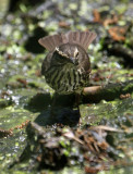 2010Mgrtn_1840-Northern-Waterthrush.jpg