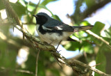 2010Mgrtn_1855-Black-throated-Blue-Warbler.jpg