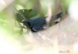 2010Mgrtn_1860-Black-throated-Blue-Warbler.jpg