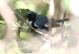 2010Mgrtn_1865-Black-throated-Blue-Warbler.jpg
