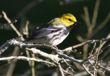 2010Mgrtn_1885-Black-throated-Green-Warbler.jpg