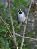 2010Mgrtn_1890-Golden-winged-Warbler.jpg