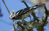 2010Mgrtn_1960-Black-and-White-Warbler.jpg