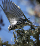 2010Mgrtn_1965-Black-and-White-Warbler.jpg